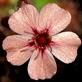 Drosera pulchella is noteworthy for having many variations in flower color.