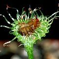 Drosera rotundifolia and fruit fly