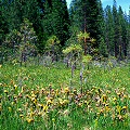 Plumas County, a famous site, with Drosera rotundifolia.