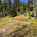 Plumas County, D. rotundifolia  in Lassen Volcanic National Monument.
