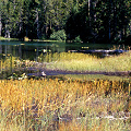 Siskiyou County, a lake site also containing D. rotundifolia and Utricularia.