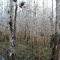 Collier County, Big Cypress Swamp, with bromeliads, and  carnivorous plants such as U. foliosa.