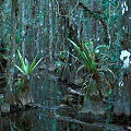 Collier County, bromeliads in a dense Florida swamp with Utricularia in its occasional clearings.
