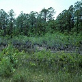 Brunswick County, pocosin vegetation