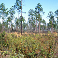 Brunswick County, Green swamp island vegetation.