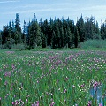 Clackamas County, a site with Drosera anglica.