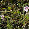 Berkeley County, Pinguicula caerulea and Drosera capillaris are the main carnivores at this site.