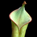 This is but a tiny pitcher of a juvenile plant.