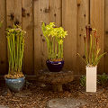Sarracenia as garden decorations.