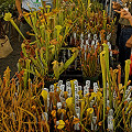 Rarely are carnivorous plants offered in such abundance!