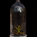 Drosera capensis in a bottle terrarium