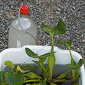 This is a method some horticulturists use to grow Aldrovanda.