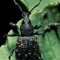 Adult weevils